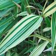 Bambous-Hibanobambusa - Professionnels A Domicile