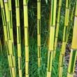 bambous-Phyllostachys - Professionnels A Domicile