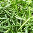 bambous-Pleioblastus - Professionnels A Domicile