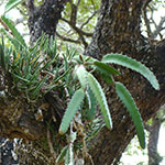 Cactees Epiphytes - Jardiniers Professionnels