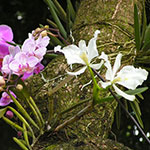 Orchidees Epiphytes - Jardiniers Professionnels