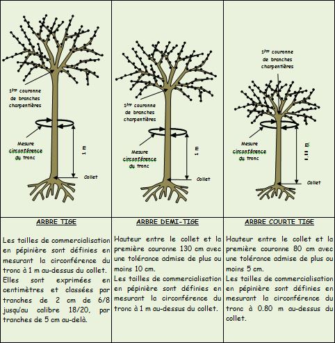 arbre-tige - Professionnels A Domicile