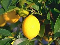 agrume-citron-meyeri - Jardiniers Professionnels