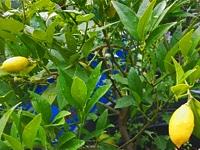 limquat - Jardiniers Professionnels