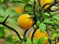 agrume-poncirus - Jardiniers Professionnels