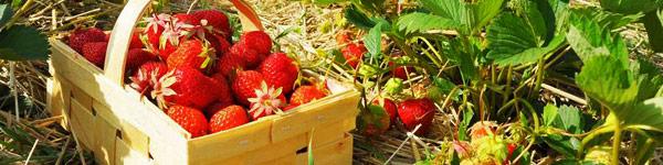 recolte-fraises - Jardiniers Professionnels