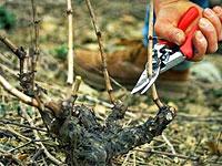 taille-vigne - Jardiniers Professionnels
