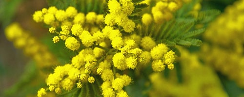 mimosa-jardin-janvier - Jardiniers Professionnels