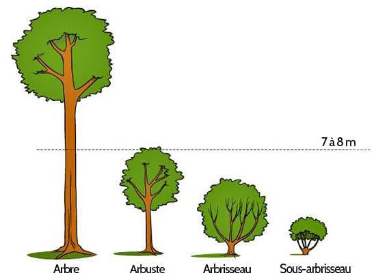 Shéma-arbre-arbuste-arbrisseau-sous-arbrisseau - Professionnels A Domicile
