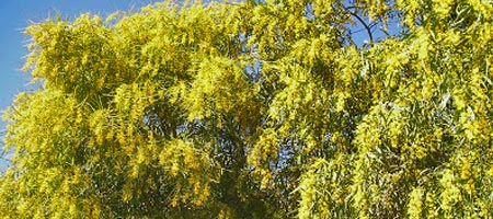 mimosa-acacia-dealbata-pendula - Professionnels A Domicile