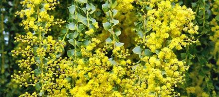 mimosa-acacia-pravissima - Professionnels A Domicile
