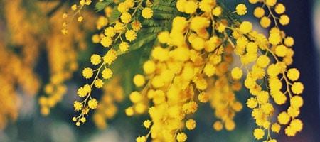 mimosa/dealbata-gaulois - Professionnels A Domicile
