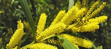 mimosa-longifolia - Professionnels A Domicile