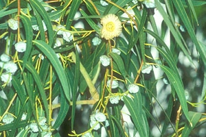 eucalyptus citronné (lemon bush ; citriodora) - Professionnels A Domicile