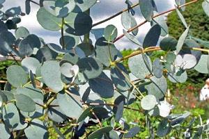 eucalyptus gunnii - Professionnels A Domicile
