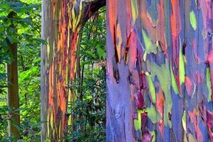 eucalyptus-rainbow-arc-en-ciel - Professionnels A Domicile