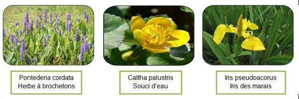 espèces de plantes aquatiques-bassin - Professionels A Domicile