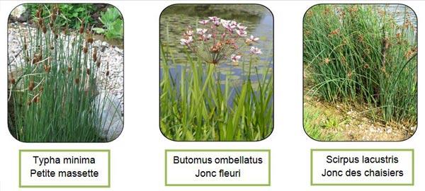 espèces de plantes aquatiques pour bassin - Professionnels A Domicile