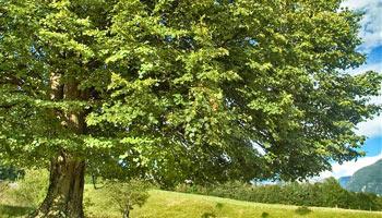 arbre de tilleul culture propriétés et bienfaits - Professionnels A Domicile