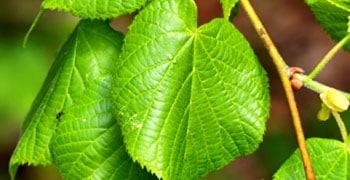 feuilles de tilleul culture propriétés et bienfaits - Professionnels A Domicile