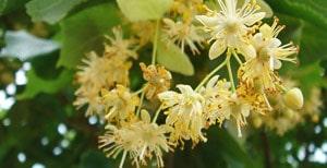 fleurs de tilleul culture propriétés et bienfaits - Professionnels A Domicile