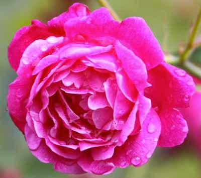 Les principales variétés de rosiers - Jardiniers professionnels