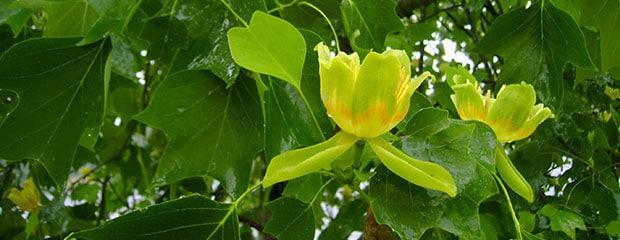 Tulipier De Virginie - Jardiniers Professionnels