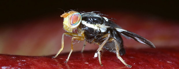 Les gouttes des parasites dans les yeux