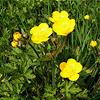 Ranunculus-repens
