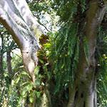 Fougeres Epiphytes  - Plante Épiphyte