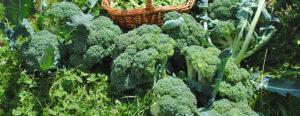 légumes à récolter en juin