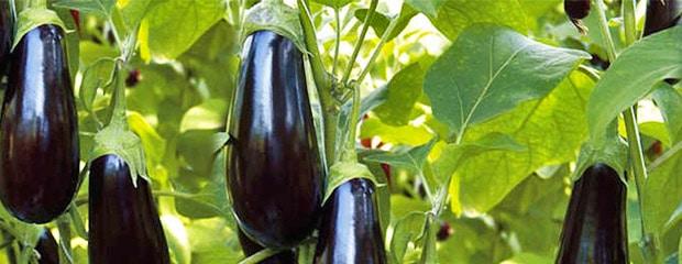 Culture Aubergine - Culture de l'aubergine Hivernale