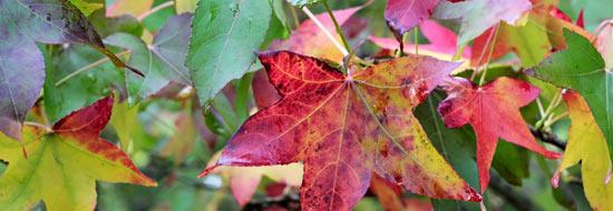 différentes couleurs des feuilles du liquidambar