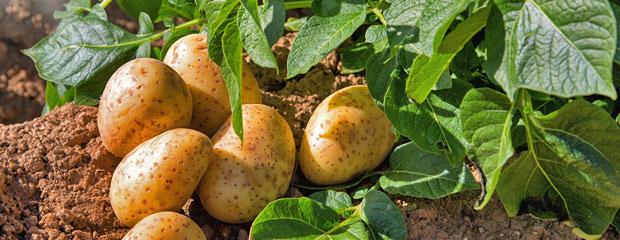 Période pour Planter les Pommes de Terre - Planter des Pommes de Terre en Hiver