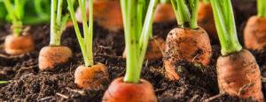 Planter des Carottes - Quand Semer les Carottes