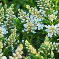 """véronique arbustive """"Buxifolia"""""""