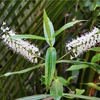 "véronique arbustive ""Pinguifolia"""