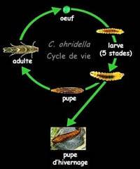 cycle biologique de la mineuse du marronnier - Professionnels A Domicile