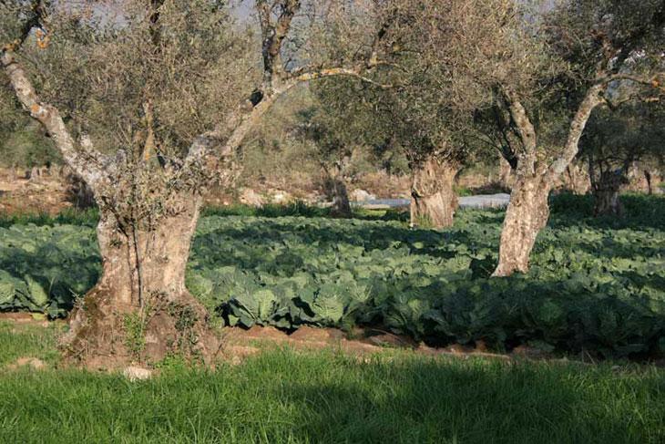 choux sous un olivier