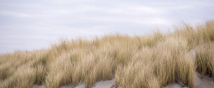 Oyat pour fixer les dunes