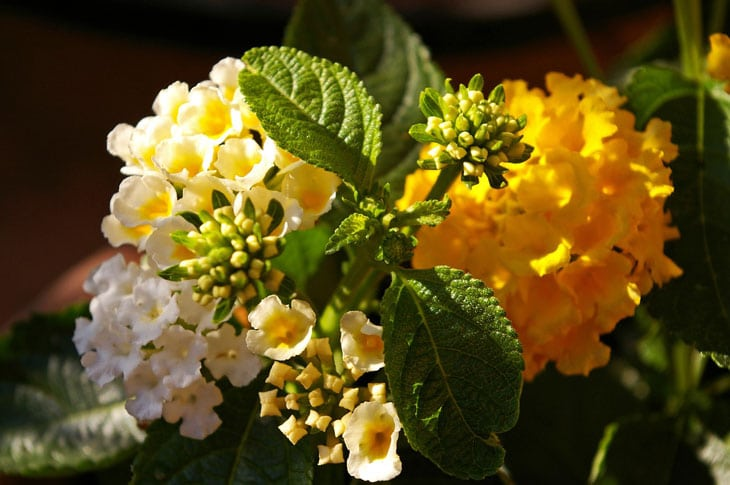 Lantana plante méditéranéenne