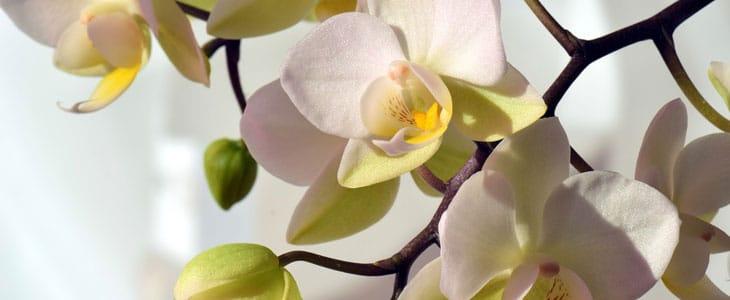 orcComment Faire Refleurir une Orchidée - Faire refleurir une Orchidéehidée
