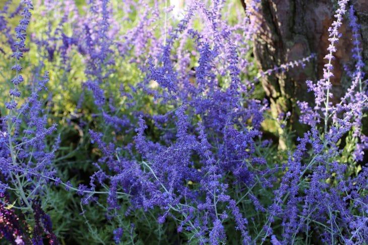 Perovskia plantes méditerranéennes