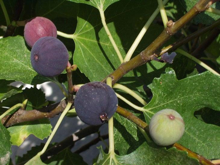 Figuier - Fruitiers méditerranéens