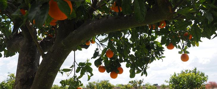 Arbre Fruitier Méditerranéen - Fruit Méditerranéen