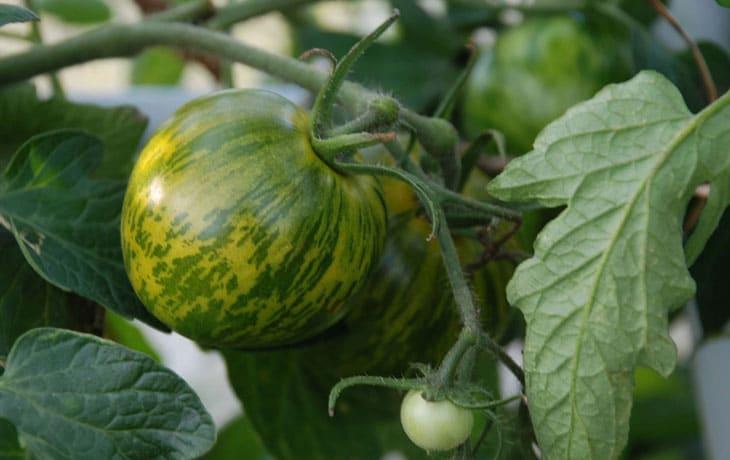 18 Variétés de Tomates Savoureuses à cultiver