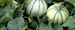 Cultiver le Melon dans son Potager