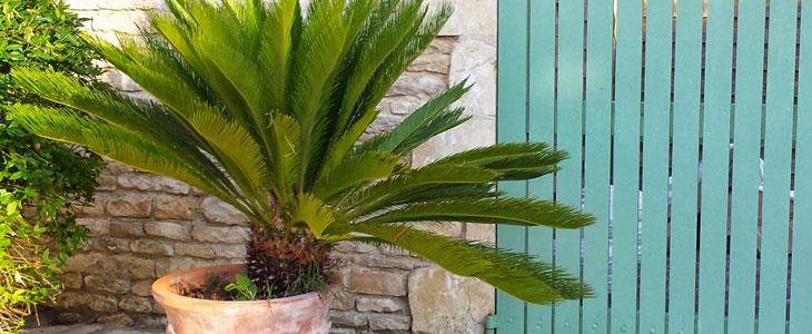 Palmier en Pot - Palmier Exterieur - Palmier en Pot Extérieur