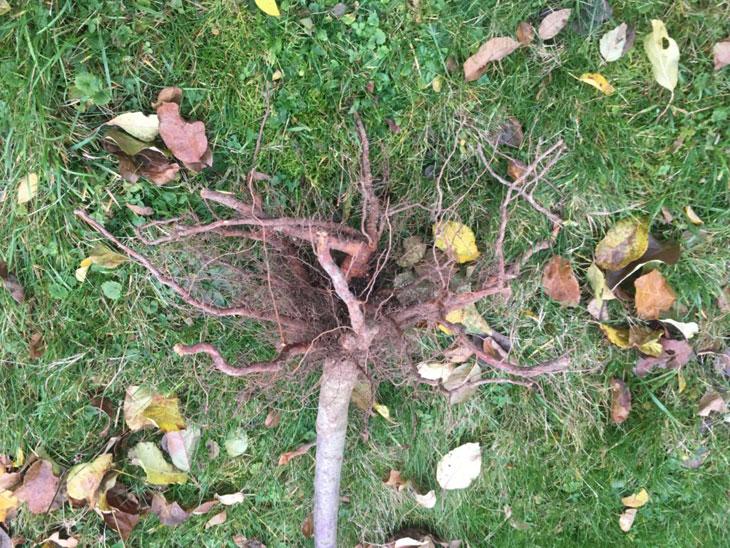 habillage des racines
