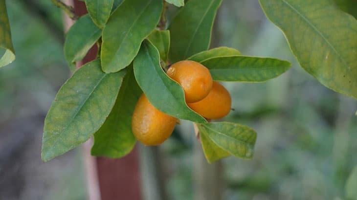 kumquat fruitier nain